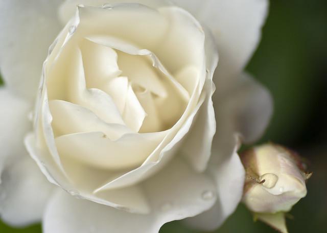 Rose03m