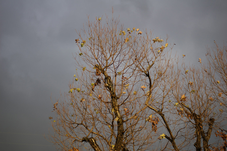冬の樹。鉄塔と張り合って威風堂々。
