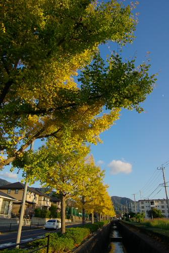 Ichoumomiji01_16mmf8.0