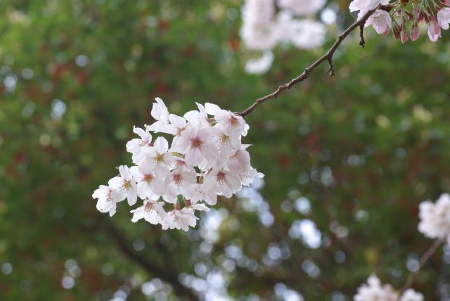 2008sakura03