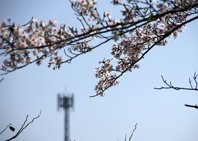 Yofukuji20110409_02