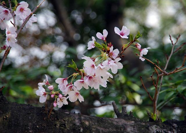 Yofukuji20110409_10